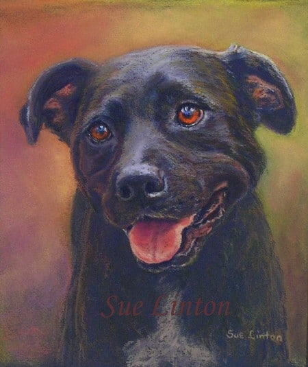 A portrait of a Staffy dog