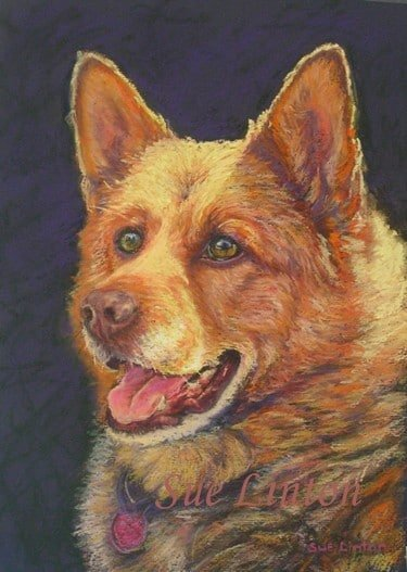 A portrait of a red cattledog