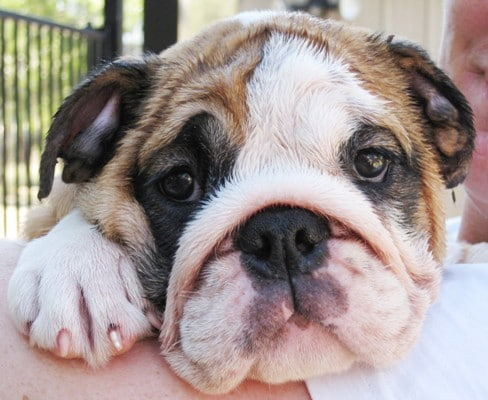 The original photo of a bulldog puppy