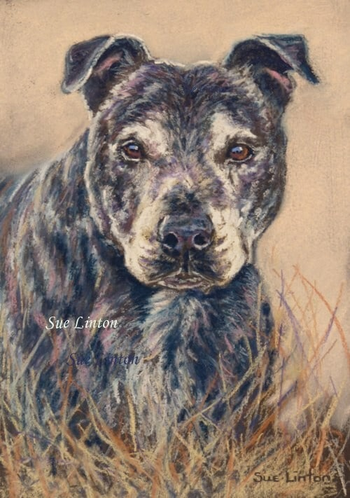 Pastel portrait of a Staffy dog