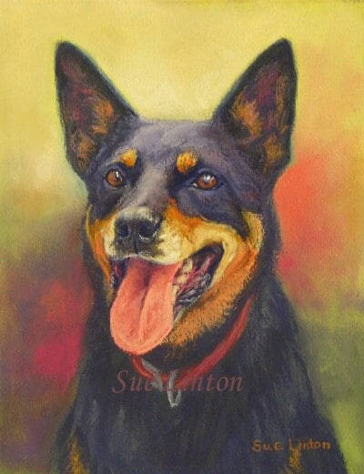 A portrait of a Kelpie dog
