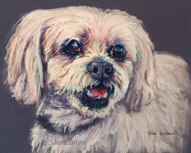 A portrait of a Maltese dog