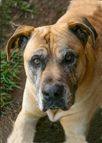 A photo of a bull mastiff dog