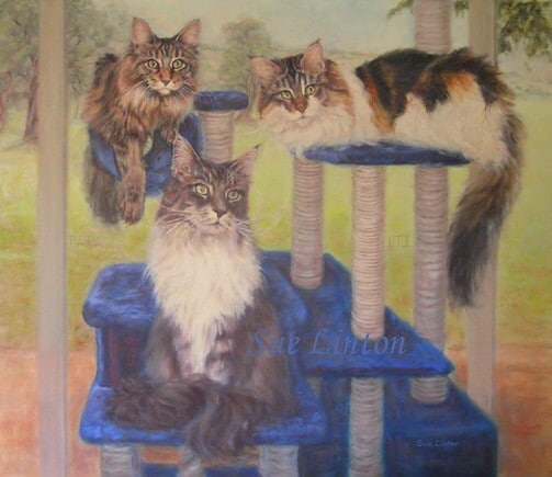 A pet portrait of 2 Maine Coon Cats on a climber