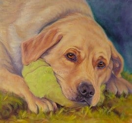 A pet portrait of a Labrador dog with his ball