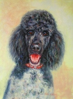 A pet portrait of a poodle