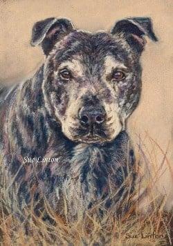 Pastel portrait of a Staffy dog