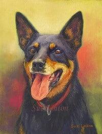 Portrait of a kelpie dog
