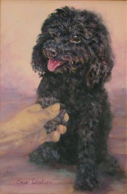 A pet portrait of a miniature poodle