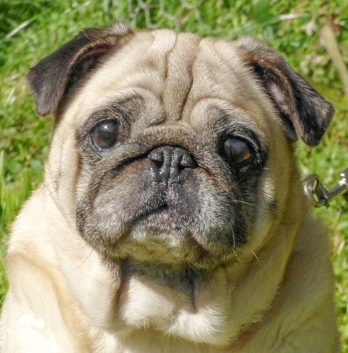 The original reference photo for the pug pet portrait